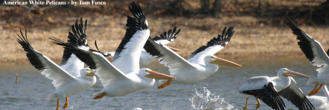 American White Pelicans - by Tom Fusco